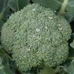 BROCCOLI Calabrese