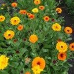 CALENDULA Pot Marigold