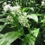 RAMSONS Wild Garlic