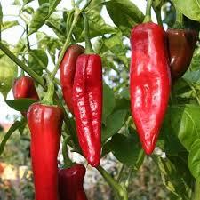 PEPPER Paprika